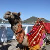 cool camel, Udaipur