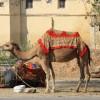 camels, Jaipur