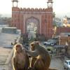 monkeys near the Monkey Temple, Jaipur