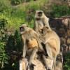 monkeys, Ranthambore