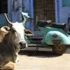 I heart holy cows, Bundi
